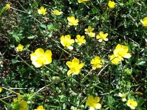 buttercups picture (c) 2012 by Danielle R. Schultz