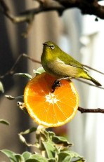 White-eye_comes_to_half-cut_Orange_(342284895) by Benzoyl wikimedia commons